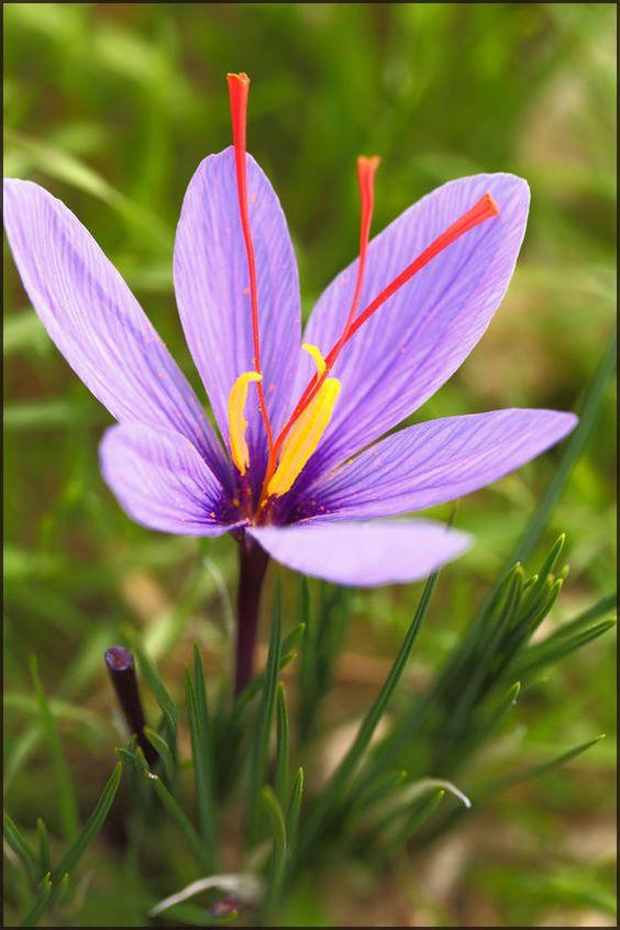saffron13-2